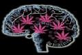 Finalmente rivelati gli effetti a lungo termine della Marijuana sul cervello umano!