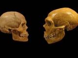 Modern-Human-and-Neanderthal-skulls pred