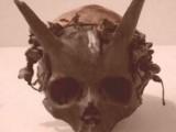 skull pred